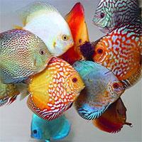 Fish genetics