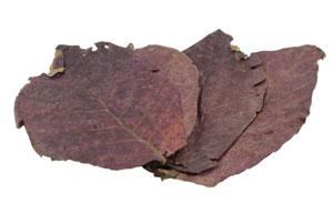 Levelek_indian_almond_leaves