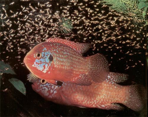 A prosztatitisből származó halak