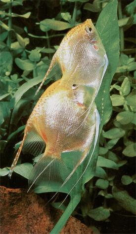 A prosztatitisből származó halak)