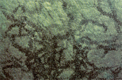 Zöld alga