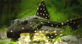 Acanthicus adonis - L155 catfish, Polka Dot Lyre Tail Pleco