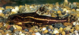 Acanthodoras cataphractus - Spiny catfish