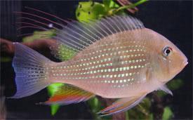 Thread-Finned Acara : acarichthys heckelii thread finned acara