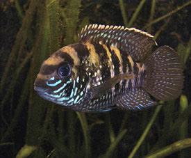 Andinoacara pulcher - Blue acara | Tropical Fish | Diszhal info