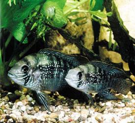 Andinoacara pulcher - Blue acara   Tropical Fish   Diszhal info