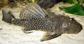 Ancistrus cirrhosus - Common Bristlenose Catfish