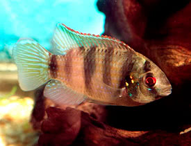 Anomalochromis thomasi - African butterfly cichlid