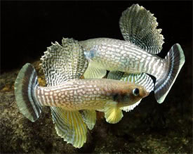 Aphanius dispar dispar - Arabian Killifish Tropical Fish Diszhal ...