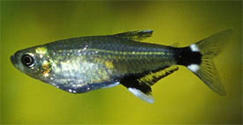 Aphyocharax paraguayensis - Fehér foltos pontylazac