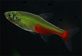 Aphyocharax rathbuni - Redflank Bloodfin