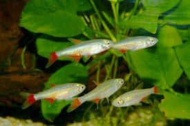 Aphyocharax rubripinnis - Vörösúszójú pontylazac