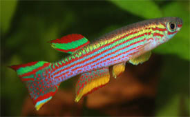 Aphyosemion striatum - Red-Striped Killifish, Five-Banded Killifish