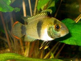 Apistogramma nijsseni - Panda dwarf cichlid Tropical Fish Diszhal ...