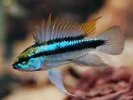 Abramites hypselonotus - Marbled headstander Tropical Fish Diszhal ...