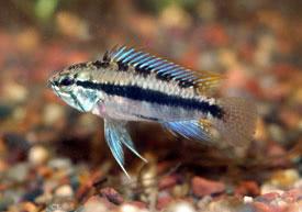 ... - Three-stripe dwarf cichlid Tropical Fish Diszhal.info