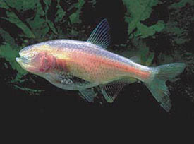 Astyanax mexicanus - Barlangi vaklazac