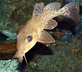 Auchenoglanis occidentalis - Giraffe Catfish