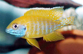Aulonocara baenschi - Yellow Regal Cichlid