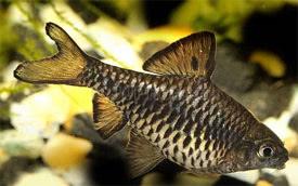 Oliotius oligolepis - Checkered barb Tropical Fish Diszhal.info
