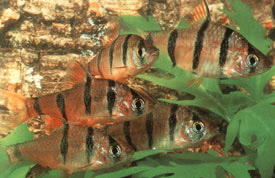 Systomus pentazona - Five-banded barb