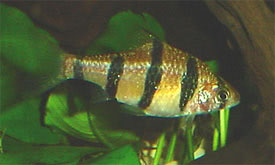 Desmopuntius pentazona - Five-banded barb Tropical Fish Diszhal ...