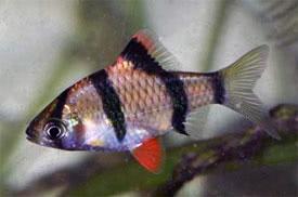 Barbus tetrazona - Szumátrai díszmárna