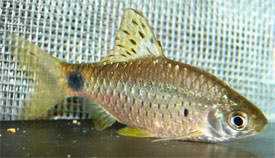 Ticto Barb : Pethia ticto - Two-spot barb, Ticto barb Tropical Fish Diszhal ...