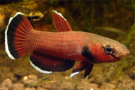 Betta channoides - Snakehead betta