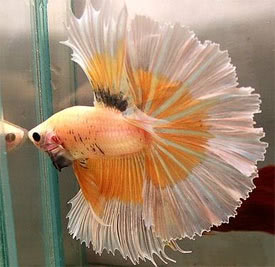 Betta splendens - Betta, Siamese fighting fish