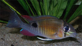 Biotodoma cupido - Cupid cichlid Tropical Fish Diszhal.info