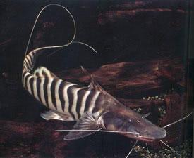 Brachyplatystoma tigrinum - Zebra Shovelnose