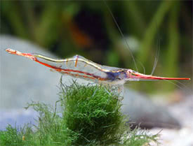 Caridina gracilirostris - Red Nose Shrimp