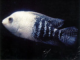 Herichthys cyanoguttatus - Rio Grande Cichlid Tropical Fish ...