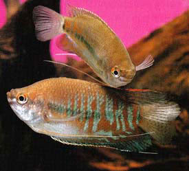 Trichogaster labiosa - Thick-lipped Gourami