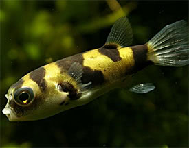 Colomesus asellus - South American Puffer