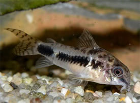 Corydoras habrosus - Salt and Pepper Cory