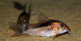 Corydoras zygatus - Black band catfish