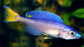 Cíclidos Africanos reproducidos en Chile Cyprichromis_leptosoma