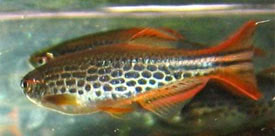 Brachydanio kyathit - Orange-Finned Danio