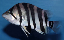 Datnioides microlepis - Indonesian Tiger Fish