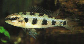 Dicrossus maculatus - Spadetailed Checkerboard Cichlid