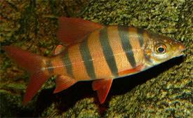 Distichodus sexfasciatus - Six-banded Distichodus Tropical Fish ...