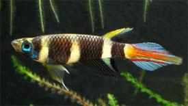 Epiplatys annulatus - Clown Killifish Tropical Fish Diszhal.info