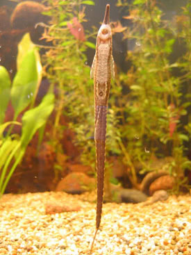 Farlowella acus - Needle Catfish, Farlowella cat