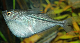 Gasteropelecus sternicla - Common hatchetfish