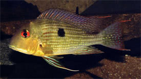 Geophagus surinamensis - Red-Striped Earth Eater