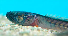 Gobioides broussonnetii - Dragon Goby
