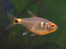 Hemigrammus ocellifer - Head-and-tail light tetra