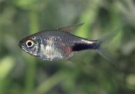 Hemigrammus pulcher - Aranyfoltos pontylazac